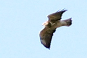 aguilucho langostero