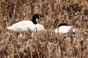 cisne de cuello negro