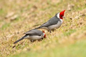 cardenal común