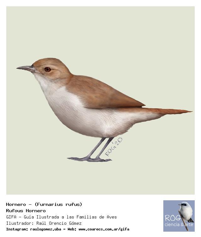 Hornero